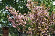 Сакура цветет...