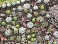 Не думали, что кактусы так хорошо растут в этом северном климате.