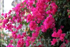 отдельная тема - цветы Кипра