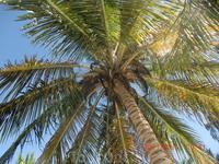 Доминиканская березка,ну или просто Пальма Доминикано