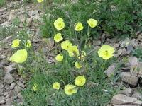 Прибайкальская растительность. Маки