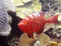 большеглазая sodierfish