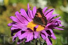 Байкальская бабочка и Байкальский цветочек