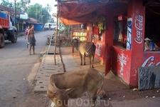 Гуляют коровы прямо около кафе. Забавно