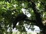 Павлины на деревьях