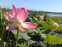 Цветок лотоса в Астраханской области - самый большой в мире!