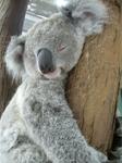 царство сонных коал