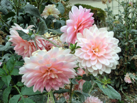 На цветочных участках царствовали георгины.