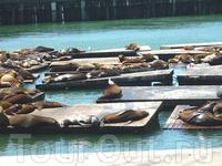 Морские котики на одном из  пирсов  в самом городе