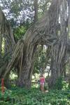 Рио-де-Жанейро. Такие вот сказочные деревья в старом парке