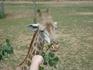 прожорливый жираф