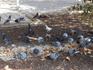 А так в Назарете питаются голуби. У нас, в России, они крупные, а здесь спортивные, подтянутые.