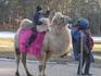 верблюд павлина не обидит...