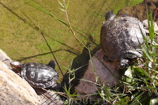 И снова черепахи...