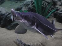 Океанариум. Осетры