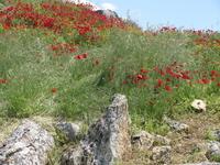 И цветут маки! Хиераполис.