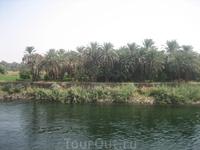 берега Нила - финиковые пальмы