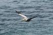 Американский бурый пеликан.