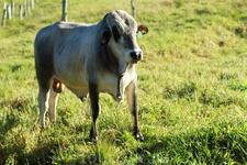 быки в этой стране стоят креако на своих копытах