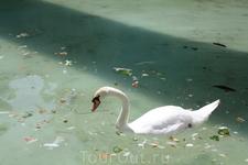 в пруду кафедрального собора живут лебеди