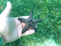Разнообразие расцветок морских звёзд, Алона-бич.
