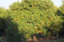 Апельсиновые сады Португалии. Апельсины здесь практически круглогодично. Уже в апреле мы с удовольствием делали свежевыжатые соки из сладких фруктов.