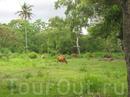 А вот и крестьянкие коровы