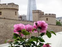Удивительно, но в Лондоне довольно много роз.