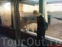 тигрица в зоопарке, кажется Rotterdam