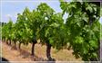 не доезжая Сен Мало,виноградник