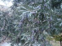 Толедо. Созревающие оливки