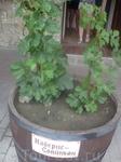 Каберне́ Совиньо́н (фр. Cabernet Sauvignon) — технический (винный) сорт винограда, используемый для производства красных вин. Один из самых распространённых ...