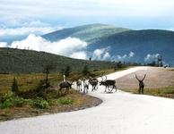 горнолыжный курорт Леви ... летом тоже очень красивые пейзажи и всё те же олени 2010