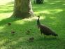 Павлиньи детки с матушкой на выгуле в саду Алькасара