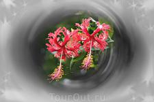 Гибискус или китайская роза. У нас выращивают как комнатное растение, а на Бали оно растет всюду.