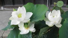 Конец июля-сезон цветения лотосов