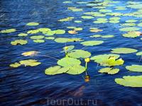 Кувшинки - такой же признак чистоты воды, как и раки