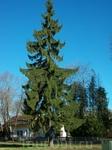 В Друскининкае в основном хвойные деревья.