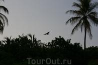 Мальдивская летучая мышь