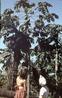 """Дерево, которое там называли """"фрута-бомба"""""""