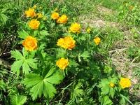саянские цветы