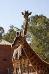 Зоопарк\ жирафы