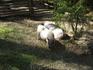 Свинок никто не гладил, но внимания они привлекали немало. Ну и пахли соответствующе)