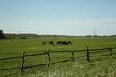 """Черняховск. Недалеко от польской границы. Совсем рядом с конным завод """"Георгенбург"""", на котором ростят лошадей для конкура и выездки."""