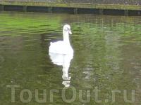 """""""двойной"""" лебедь или зеркальный эффект"""
