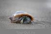 Рак-отшельник спешит в море.