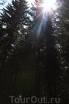 солнышко пытается пробраться под густую крону леса