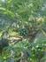 прорастание папайи