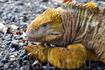Ярко-желтая сухопутная игуана