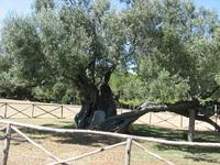 этой оливе болше тысячи лет
